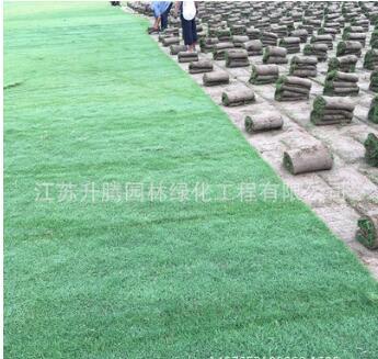 出售多规格绿化苗木四季青草坪 优质沙培果岭草草坪 自产自销