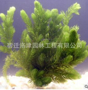 供应优质水生植物 金鱼藻水生植物 消毒活体植物 净化水质