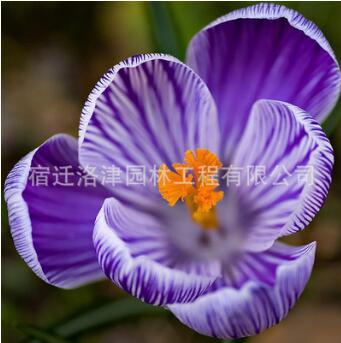 批发番红花种球 出售西红花藏红花种球 苗木基地直销园艺花卉植物