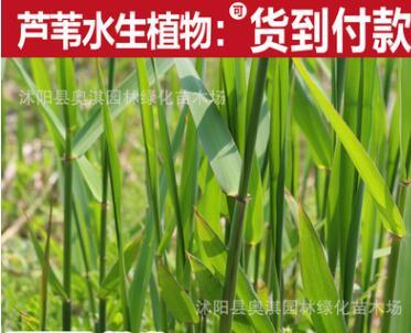 供应芦苇种根,保土固堤生态水景绿化植物-芦苇