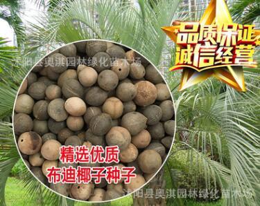 批发林木树种 景观树【布迪椰子种子】 冻子椰子种子