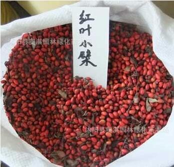 供应红叶小檗种子,邮寄红叶小檗种子批发红叶小檗种子