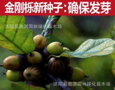 金刚栎种子 林木种子 金刚栎树种 绿化工程用种 发芽率高