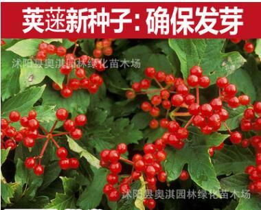 批发新采林木树种 白花绣球种子 绣球荚蒾 白绣球种子 木绣球种子