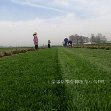 基地批发高羊茅草坪紫羊茅草坪耐寒耐践踏球场城市绿化专供