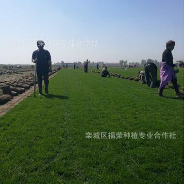 厂家直销美观绿化草坪耐寒耐旱耐践踏草坪绿化工程专用草坪价格