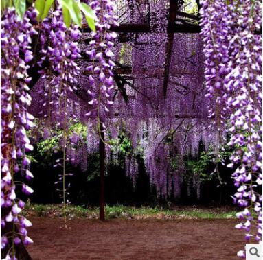 产地批发紫藤种子 常温播种紫藤阳台观赏花绿化植被
