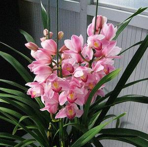 盆栽花卉大花蕙兰 建兰 墨兰 虎头兰当年开花大花惠兰兰花苗