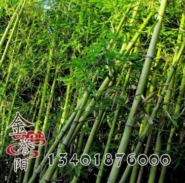 刚竹绿化工程庭院绿化苗木 刚竹苗 四季常青竹子小苗 规格齐全