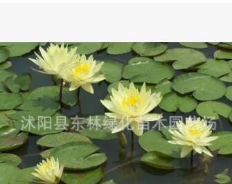 供应水生植物荷花-睡莲-碗莲.各种水生植物大量销售