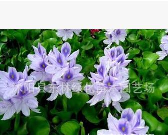 基地供应水生植物 水葫芦苗 凤眼莲 净化水质观花植物量大优惠