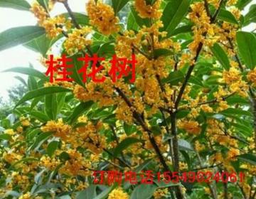 岩桂樨树桂花金桂湖北桂花河南桂花树规格绿化苗木花卉价格