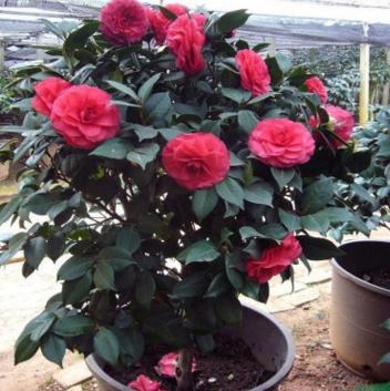茶花盆栽 茶花树苗当年开花植物高档室内盆栽盆景绿植花卉