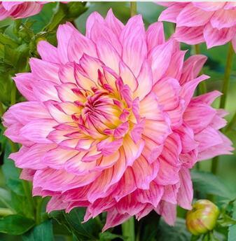 大丽菊花地瓜花大丽花种球进口球根山芋花卉庭院种植盆栽植物批发