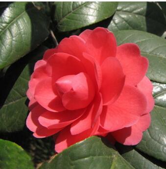 供应各种苗木 种苗 种子 基地直销优质茶梅苗