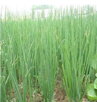 四季小香葱种子 庭院蔬菜种子 种菜菜籽 四季播种 香葱种子