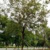 黄花风铃木 15-16分 多花 苗木 植物 报价 楼盘花木