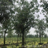 菩提榕 大乔木 30分 行道树 庭园树 苗木工程 植物报价