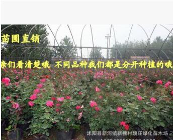 超低价格 3年生 月季花23个品种 大花月季 盆栽 带花苞嫁接月季
