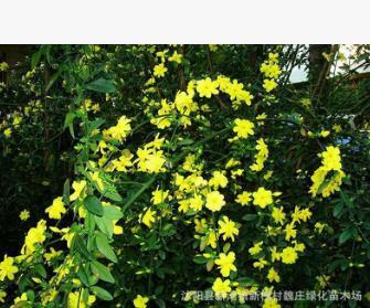 低价 迎春花 垂吊攀援花卉 庭院植物 绿化 绿篱