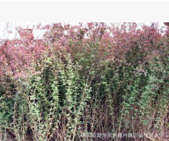 超低价绿化 红叶小波 红叶小檗 绿篱植物 庭院 彩色植物 花木