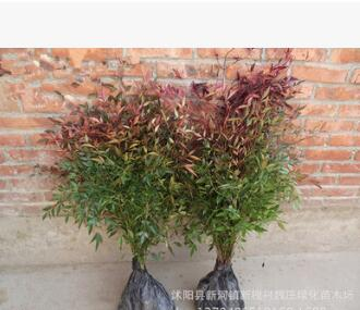 彩色绿化苗木 南天竹苗 红天竺 色块盆栽 园林绿化