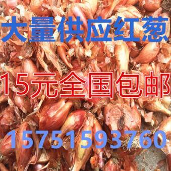 四季红葱头 红葱种子 香葱头 调料红葱头 红葱头干