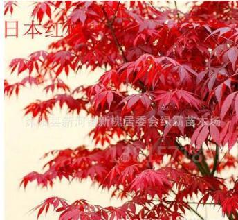 大量批发日本红枫美国红枫四季红枫树苗品种纯正规格齐全