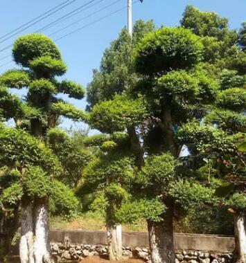 优质对节白蜡苗 绿化工程对节白腊苗木