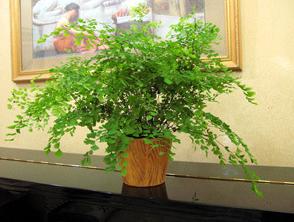 【绿圣兰业】批发铁线蕨