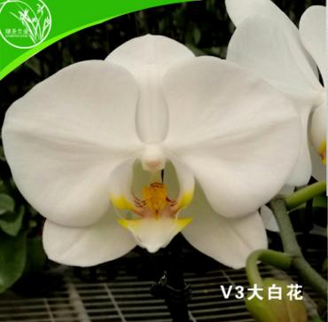 山东绿圣兰业花卉蝴蝶兰盆栽植物家居装饰大白花