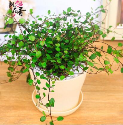 批发千叶吊兰 室内盆景 净化空气 垂吊植物 吸收甲醛