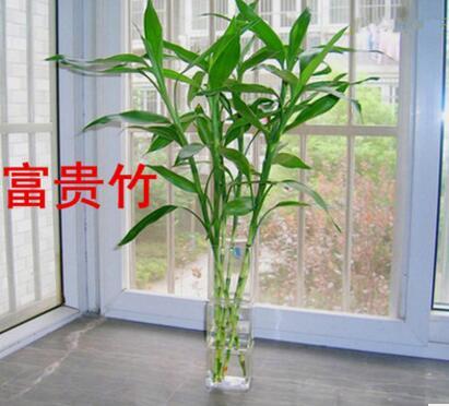 批发水培花卉 富贵竹 开运竹 大叶竹 适合桌面