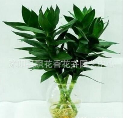 批发 水培竹子 观音竹 水培花卉 有水就成活 盆栽绿植