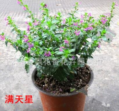 批发供应桌面盆栽 植物 满天星花苗 净化空气 花期长