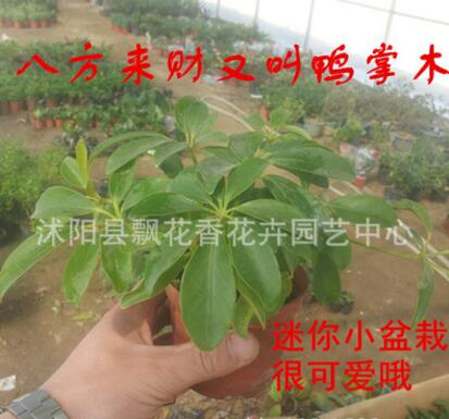 批发盆栽花苗 八方来财 又叫鸭掌木 正好八片叶子 特价