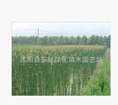 直销水生植物 水体绿化 花叶水葱 水葱苗 湿地绿化 公园湖面绿化