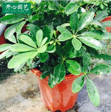 室内室外盆景鸭脚木 常温喜阳鸭脚木盆景盆栽