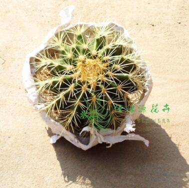 室内植物吸甲醛防辐射净化空气小盆栽仙人球