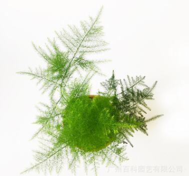 办公室绿植文竹盆栽微景观绿色观叶植物防辐射净化空气小盆景