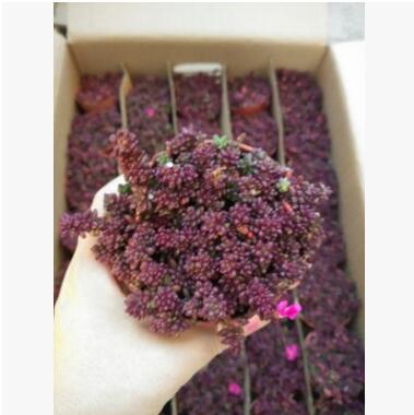 多肉植物 办公室桌面迷你盆栽米粒花