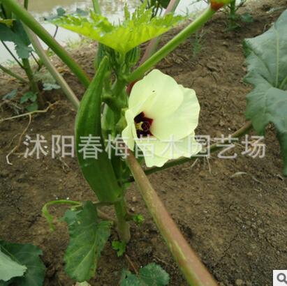 散装蔬菜种子黄.红 秋葵种子 补肾菜 羊角豆