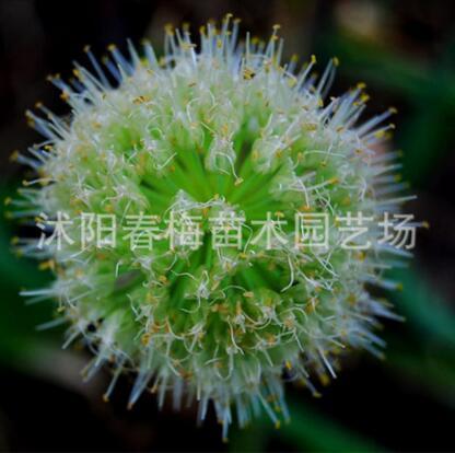 批发散称散装蔬菜种子大葱种子四季香葱籽种量大从优原种新种子