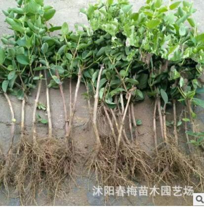 长青藤耐寒植物盆栽 金边常春藤吊兰 吸甲醛 净化空气 吸苯装修
