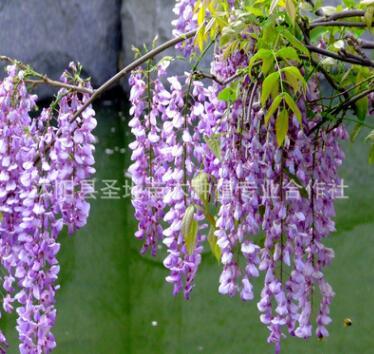 基地直销藤本植物攀援花卉紫藤苗多花紫藤树苗 庭院紫花紫藤树