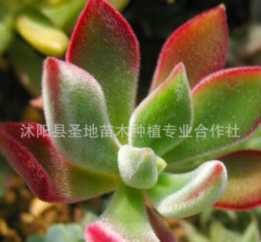 批发多肉盆栽植物 锦晃星 兔耳朵 桌面迷你盆栽 绒毛掌 猫耳朵
