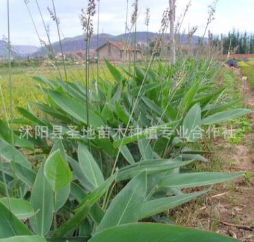 基地直销水生花卉再力花苗水生植物易管理水体绿化又名水竹芋