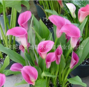 基地直销 进口彩色马蹄莲种球 多种颜色 当年开花 花卉种球
