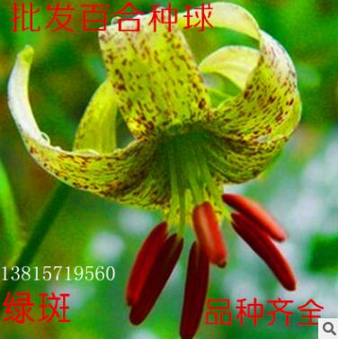 批发供应球根百合种球香水百合种球多头百合观赏百合进口鲜切花种
