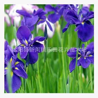 苗圃批发绿化圃蝴蝶兰苗 鸢尾紫色
